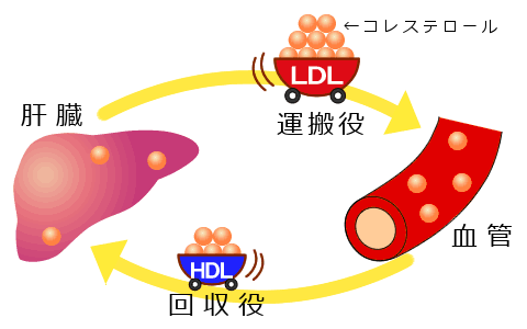LDL_HDLコレステロール